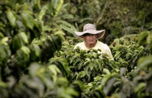 Zrównoważony rozwój kawy, mężczyzna w polu kawy